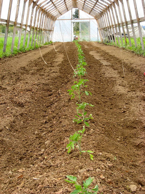 Planted Tomatoes