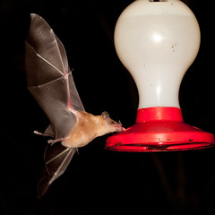 Just get my tongue in there....... (no1chrism) Tags: costa southamerica costarica bat feeder rica rara avis