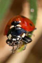 IMG_3990 (jujernault Thanks for >1,5 Million Views) Tags: macro canon bug insect spider 100mm mushi 5dmarkii jujernault jeromemomper
