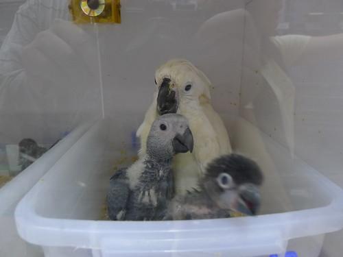萬華鳥街-鸚鵡寶寶