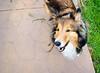5/12: Smile! (Kerfuffle~) Tags: dog sheltie fergus shetlandsheepdog twelvemonthsfordogs