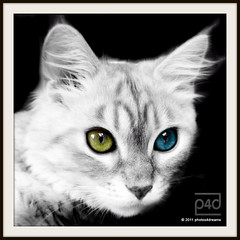 odd eyed (photos4dreams) Tags: red female cat artwork sand kitten fluffy mainecoon katze chilli kätzchen longhaired oddeyed oddeyes photos4dreams photos4dreamz p4d
