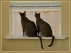 Friendship (TT_MAC) Tags: friends pet cats friendship tabbycats