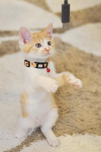 フリー写真素材, 動物, 哺乳類, 猫・ネコ, 子猫・小猫, 立っている,