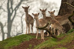 Young Deer (Explored) (GaryC4) Tags: