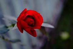 rosa vermelha (padilharaquel) Tags: myfavorite omg ilikeit masterphotos photomemories artisticflowers artonflickr beautifulasalways mastershot filmfree eperke mindigtopponalwaysontop thegoldenachievement flickrheartgroup