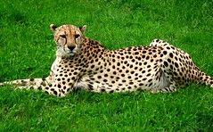 The chillin cheetah (JayVeeAre (JvR)) Tags: 2016johannesvanrooy cat cheetah johannesvanrooy johnvanrooy gimp28 picasa3 httpwwwpanoramiocomuser1363680 httpwwwflickrcomphotosjayveeare johnvanrooygmailcom gimpuser gimpforphotography canonpowershotg10 hamilton newzealand 2016 hamiltron hamiltonzoo hamiltonzoopark hamiltonhilldalezoopark nature animal animals