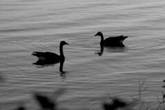together (thomas.erskine) Tags: 20160819imgp1334teelevrgbrfilteredheal 2016 aug summer morning bw ottawa river