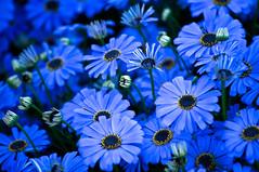 blue passion (ankur__) Tags: flower bud flowershow