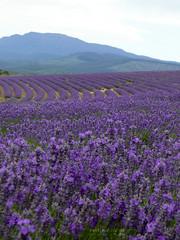 The Bridestowe Estate Lavender Farm (>littleyiye<) Tags: flowers blue mountain green field purple farm lavender australia tasmania tas tz3