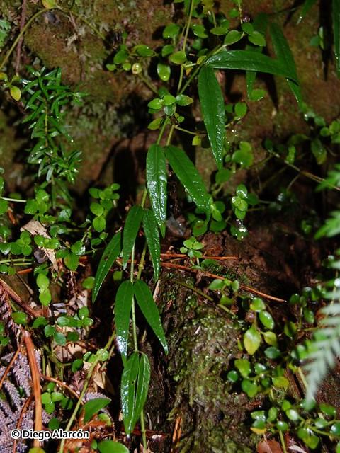 <br><br><br>Ejemplar de Pahueldún (<i>Cynanchum pachyphyllum</i>) en el Parque Oncol, Región de los Ríos.