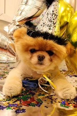 boo_Pomeranian_Dog_08