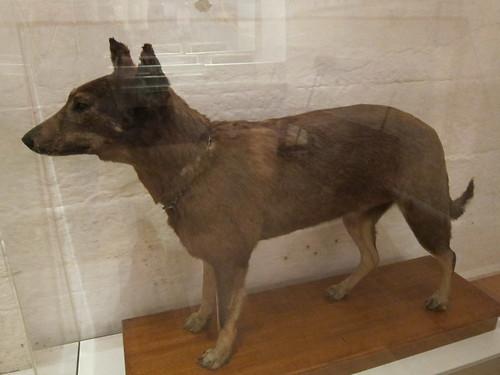 Tess - first Aussie police dog