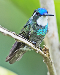 Male White-throated Mountain-gem (Dave W.) Tags: savegremountainlodge lamporniscastaneoventris photobydavewendelken hummingbirdsincostarica wtmg lamcas ventbirdingtours malewhitethroatedmountaingem