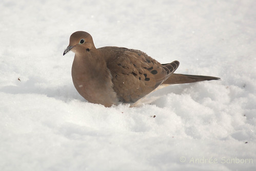 Mourning dove (19 of 44).jpg