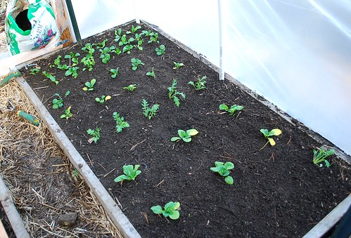 Bed of Brassicas