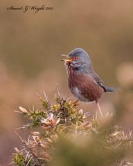 Dartford Warlbler (Stuart G Wright Photography) Tags: bird birds g wildlife stuart wright warbler dartford warlbler