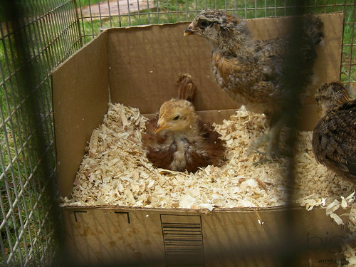 Chicks, Day 19