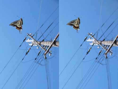 Papilio xuthus, stereo parallel view
