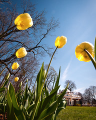 When Giant Tulips Attack (Sky Noir) Tags: flowers blue yellow architecture virginia spring day estate tulips thomas united landmark historic lookingup clear jefferson states charlottesville skyward monticello neoclassical monticelo skynoir bybilldickinsonskynoircom