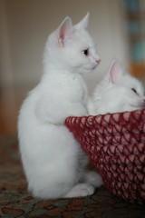 DSC_0044 (*lalalaurie) Tags: thanks kittens kitties ittybittykittycommittee lauriecinotto ibkc themagnificentmedleyfamily pleasedontusemypictureswithoutseekingmypermission