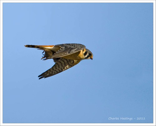 American Kestrel....with dinner
