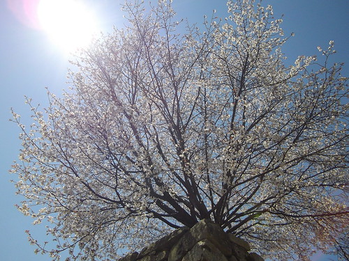 岡山城の桜