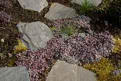Sedum groundcover (jacki-dee) Tags: detail blanco oregon garden moss path stones front cape sedum steppingstone flagstone capeblanco sedumspathulifolium spathulifolium sedumspathulifoliumcapeblanco graysedum silversedum groundcoversedum