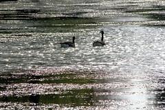 Lac Daumesnil 11.04.11 007 (MUMU.09) Tags: bird photo foto aves goose ave bild fugl oiseau  vogel imagem  uccello  ku chim ptak fgel  bernache  outarde     madr   an      tkklistar mumu09