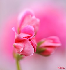The feminine nature (meletver) Tags: pink flowers color macro nature beautiful canon garden petals spring flora soft pretty dof bokeh feminine softness creative 100mm greece april buds geranium tender blooming persephonesgarden