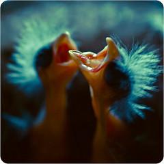 les oiseaux naissent punk (★ ♥ Pounkie ☠ †) Tags: birds sid explore squareformat newborn frontpage littlebirds béru canaris formatcarré oisillons lesoiseauxnaissentpunk