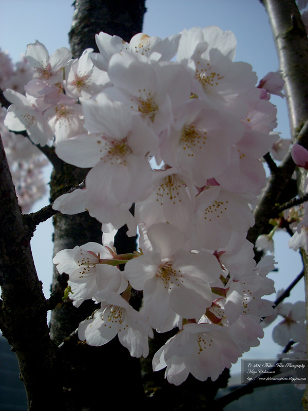 04-12-2011_white_flowering_cherryblossoms_wm