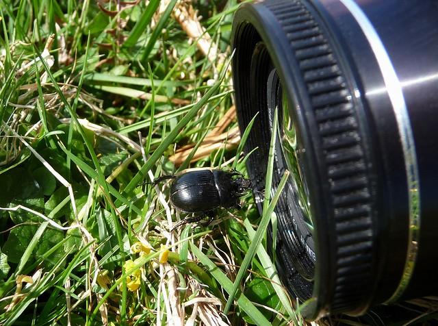 24177 - 24165 - Minotaur Beetle, Rhossili, Gower