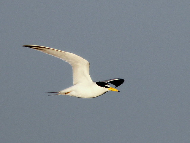 Least Tern in-flight 3-20110415