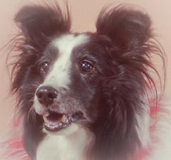 Dog Star (WOLF CHOIR) Tags: dog canine boa wolverine starfilter keanureeves robschneider softfocusfilter hughjackmanasadog