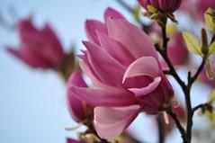 Magnooliamll (anuwintschalek) Tags: flower macro austria spring 85mm april magnolia blte niedersterreich frhling blooming kevad 2011 micronikkor nikond90 magnoolia vanagram itsev magnooliais ites tulbipuu magnoliablte wenerneustadt