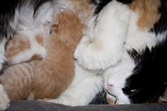 Amamantando (Iaki Couceiro) Tags: cat canon birth kitty pregnant gato gata parto preado 400d