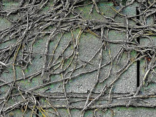 Vines on a wall