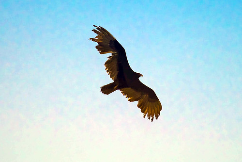 Ragged Vulture