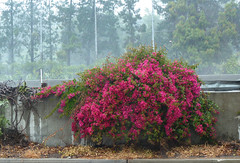 downpour (kweber222) Tags: rain bougainvillea