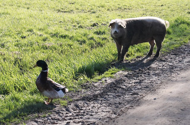 a pig and a duck