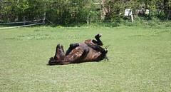 einfach das schöne Osterwetter genießen.. (♥ ♥ ♥ flickrsprotte♥ ♥ ♥) Tags: ostern sonne pferd tier frühling traumwetter neuwittenbek beifreunden flickrsprotte