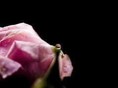 Alguna vez me dijeron (_Zahira_) Tags: pink flower macro rose lafotodelasemana negro flor rosa olympus drop nd gota blck e500 uro 35mmmacro ltytrx5 ltytr1 lfs052011