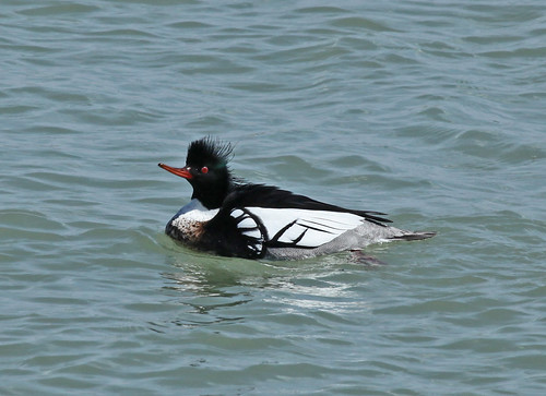 Red-breasted Merganser - Male by JKissnHug