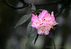 Mist,Silence & Rhododendron at Lapchajagat (Monsoon Lover) Tags: travel pink wild india mist flower tourism forest spring flickr rhododendron pinkflower himalaya darjeeling ecotourism ghoom singalila sudipmonsoonlover wbfdc sudipguharay springmonsoon lapchajagat samirgajamer lapchajagatforestresthouse dfokalimpong darjeelingtouradvise tourismindarjeeling