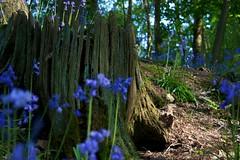 Bluebell Stump (James Woodward) Tags: blue tree bluebells bells bell stump