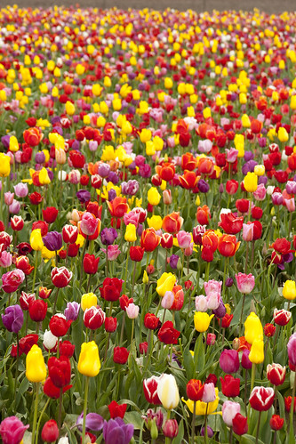 wooden shoe tulip farm 20