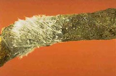 White web-like mycelium of the southern blight fungus. Photo courtesy Turner B. Sutton, North Carolina State Univ.
