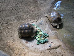 Breakfast for Tortoises (bookworm1225) Tags: march minnesotazoo 2011 tropicstrail