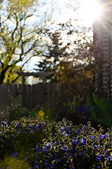 117/365: Springtime in the Yard (Kevin Riggins Photography) Tags: flowers landscape flora nikon bokeh flare 365 project365 d7000 201136504
